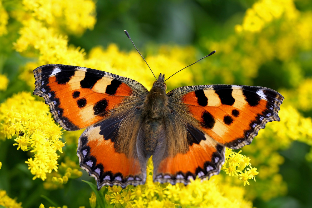 Small tortoiseshell butterfly, Aglais urticae